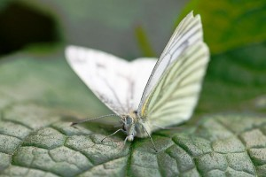 cabbage white butterfly inspire solar technology